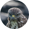 Buizerd close up boze blik