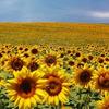 10083018 zonnebloem veld
