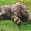 Baby olifant en vlinders