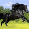 Dieren en paarden wallpaper met een prachtig groot zwart paard in het weiland hd achtergrond foto