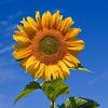 266px sunflower sky backdrop