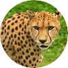 Cheetah mrt 16