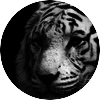 Tiger black and white 00447836
