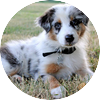 Australian shepherd puppies19
