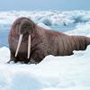 Piepvandaag walrus4