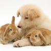 Jane burton white german shepherd dog puppy with sandy lop baby rabbits