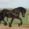 1024px frisian horse